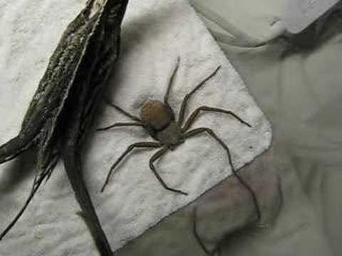 Cave Spider Hiding Itself (Sicarius terrosus)