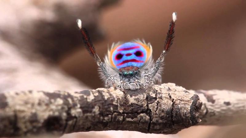 Peacock Spider tanzt zu YMCA