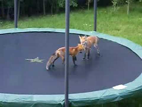Zwei kleine Füchse auf dem Trampolin